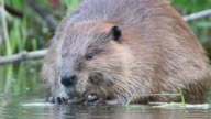HD Video close-up large wild Colorado beaver eating