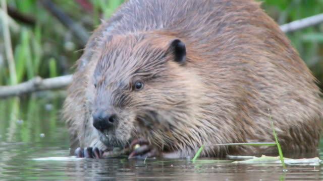 HD Video close-up large wild Colorado beaver eating