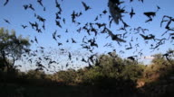 HD-video-Wolken an mexikanischen free-tailed bats, Texas