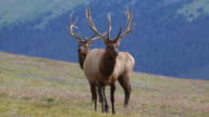 HD-video der Colorado bull River elk trio zeigen