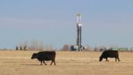 HD video Colorado cows graze fields near oil fracking drill rig