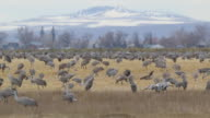 HD video Colorado Sandhill Cranes feed and dance