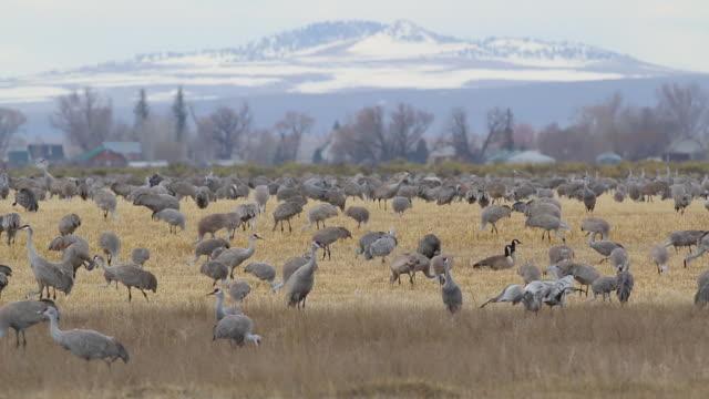 HD video Colorado Sandhill Cranes feed and dance