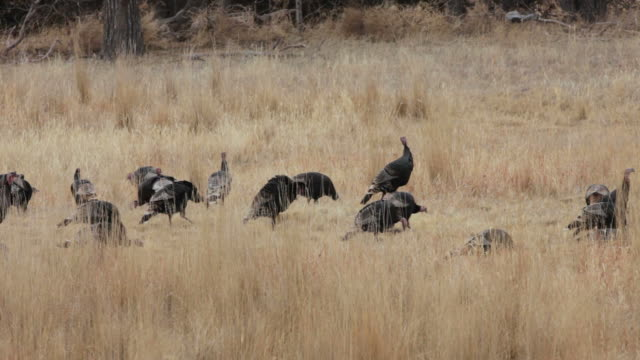 HD video flock wild turkeys in Max Nebraska