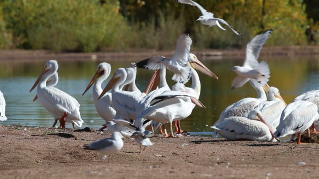HD video flocks of pelicans and gulls Colorado
