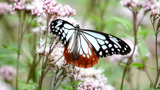 Video footage taken in Handa Aichi Prefecture shows a chestnut tiger butterfly perched on a flower in a thoroughwort garden in the hometown of...