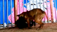 Video footage taken on June 4 in Hirosaki Aomori Prefecture shows an infrequently seen match between Japanese traditional Tosa fighting dogs The...