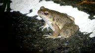 Video footage taken on March 21Japan shows an endangered Amami Oshima frog considered by many as Japan's most beautiful variety of frog and found...