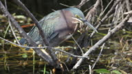 HD video green-backed heron Everglades NP Florida