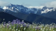 HD Video lupine and Olympic Mountains Washington
