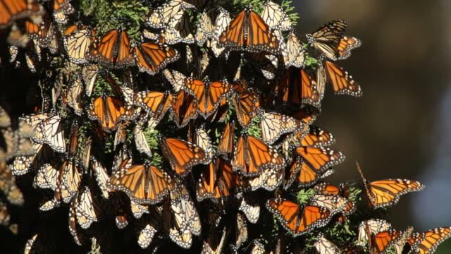 Video HD migrazione delle farfalle monarca nella baia di Monterey California