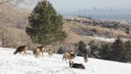 HD video mule deer herd in snow with downtown Denver
