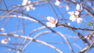 UHD Video Of Swinging Apricot Flower On Clear Blue Sky