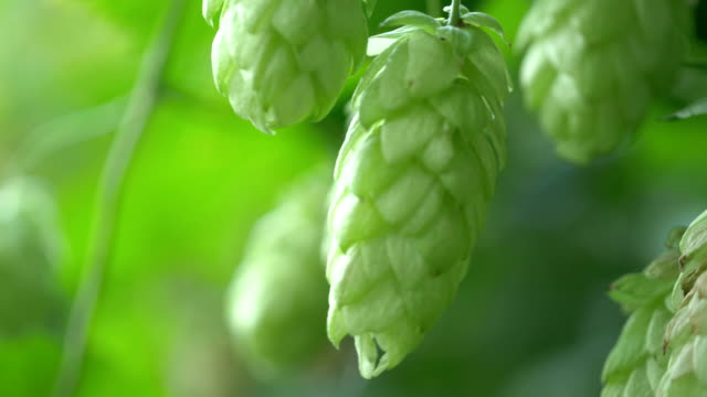 Video of twig of hops on the plantation in 4K