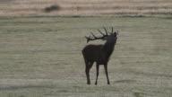 HD video red deer stag Cervus elaphus roaring in rut