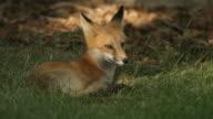 HD video red fox Denver Colorado