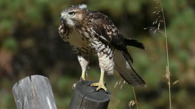 HD video red - tailed hawk jacht Evergreen (Colorado)