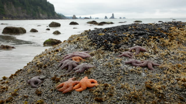 HD video Sea stacks and starfish Olympic National Park
