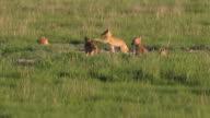 HD video swift fox pups play Pawnee National Grasslands Colorado
