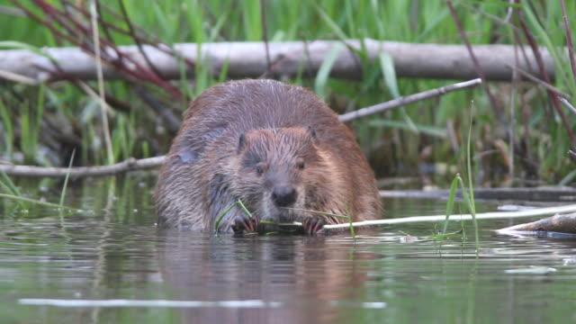 HD Video wild Colorado beaver eating swimming