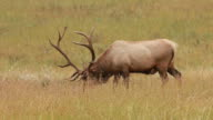 HD-video-wild Grasen bull River elk Colorado