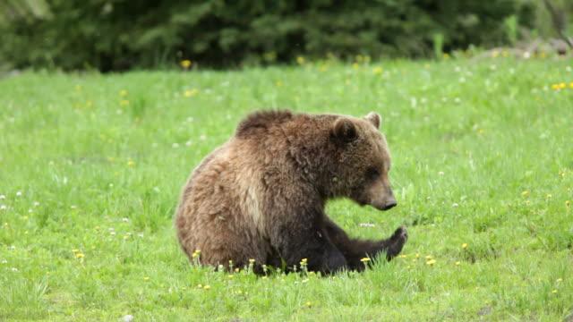 Video HD Orso grizzly selvaggia graffiare Foresta Nazionale della Tavola Wyoming