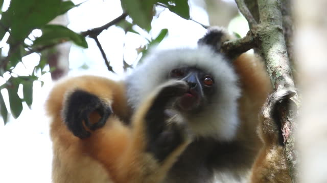 video HD Wild Madagascar Diademed sifaka Andasibe di Périnet Foresta pluviale