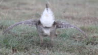 HD video Wild sharp-tailed grouse dances in Northern Colorado