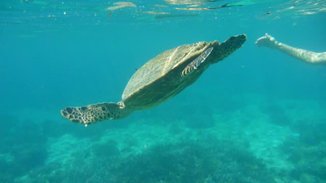 HD video woman snorkels with green sea turtle Madagascar