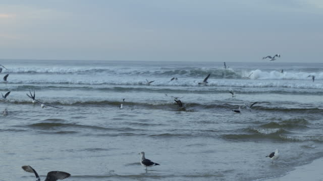 WS View at early morning, large group of seagulls fly above breaking waves on beach / Muizenberg, Western Cape, South Africa