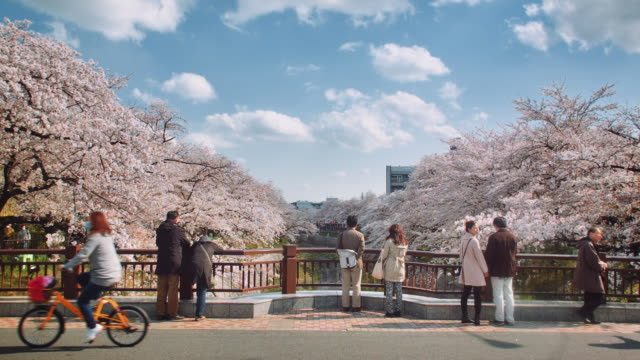 WS, View from a bridge overlooking the Yamazaki river, Nagoya, surrounded by cherry blossoms
