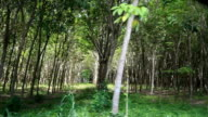View from a car shot row of rubber tree