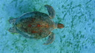 View from above Green Sea Turtle and Remora Fish swimming in Red Sea / Marsa Alam