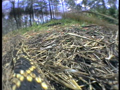 View from onboard camera as Eastern Diamond Back Rattlesnake slithers over ground