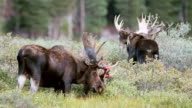WS View of 2 massive bull moose (Alces alces) grazing in willo with bloody velvet hanging from their antlers / Ward, Colorado, United States