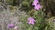 WS View of A bee pollinates Rockrose (Cistus albidus) / Verghia, Corsica, France