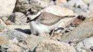 View of a Charadrius placidus bird (Endangered species) in Netstream village (Famous tourist destinations) at Injegun