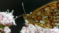 View of a Clossiana Selene Schiffermuller buterfly in Injegun