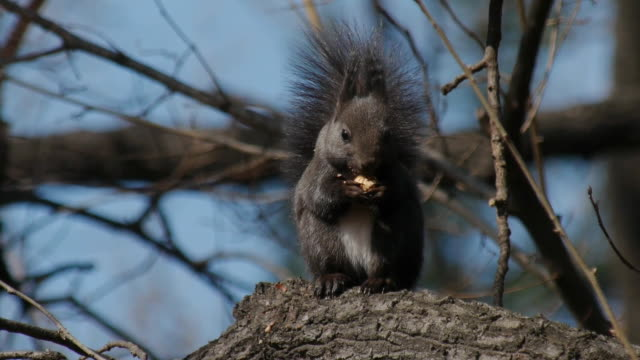 View of a eurasian red squirrel eating prey on the branch