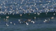 View of a flock of Black-Tailed Gull in Goseonggun