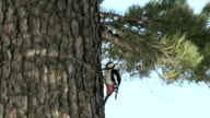 View of a Great Spotted Woodpecker on a pine tree