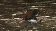 View of a male mandarin duck bathes in lake in Changgyunggung (UNESCO World Heritage)