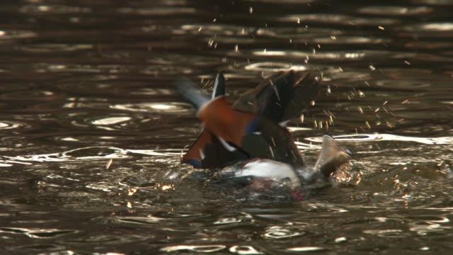 View of a male mandarin duck bathes in lake in Changgyunggung (UNESCO World Heritage)
