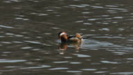 View of a mandarin duck searching prey on the river