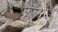 View of a Red-backed Vole in Injegun