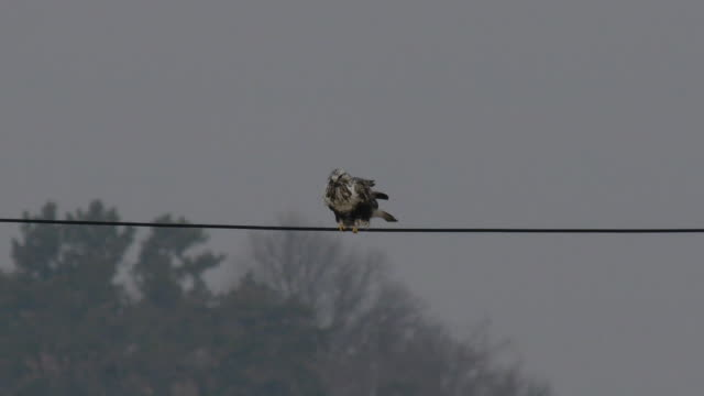 View of a rough-legged buzzard on the telephone pole