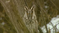 View of a Short-eared owl (Asio flammeus) looking at camera lens