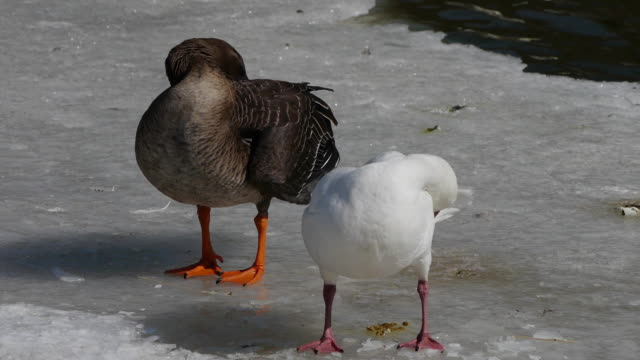 View of a snow goose and a bean goose grooming on the ice in Seoul Grandpark