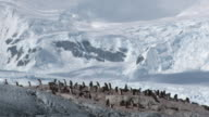 WS View of Adelie Penguin (Pygoscelis adeliae) Colony in distance, with glacier in backside heating air creating flickering movement / Antarctica