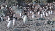 WS View of Adelie Penguin (Pygoscelis adeliae) Colony with adults and chicks Flapping wings / Antarctica